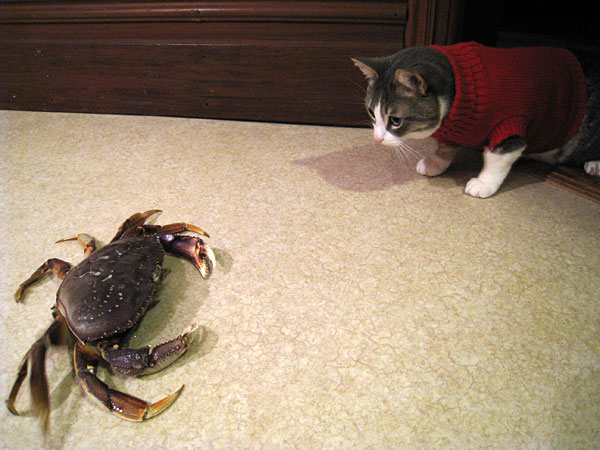 Cat in a sweater facing off against a crab