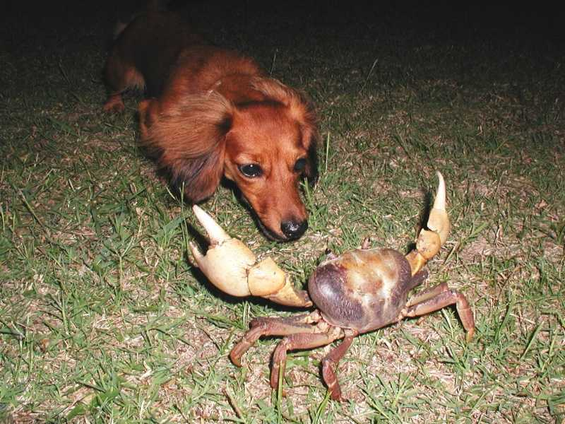 Dog facing off against a crab