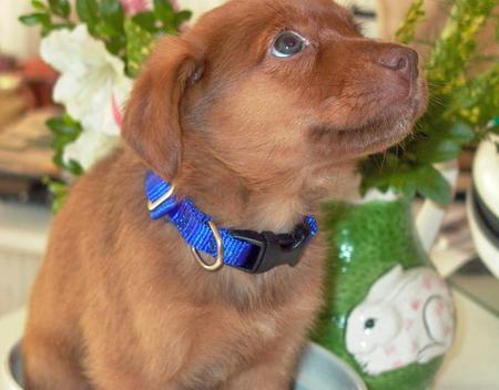 Keeper, the golden retriever/vizsla mix as a puppy