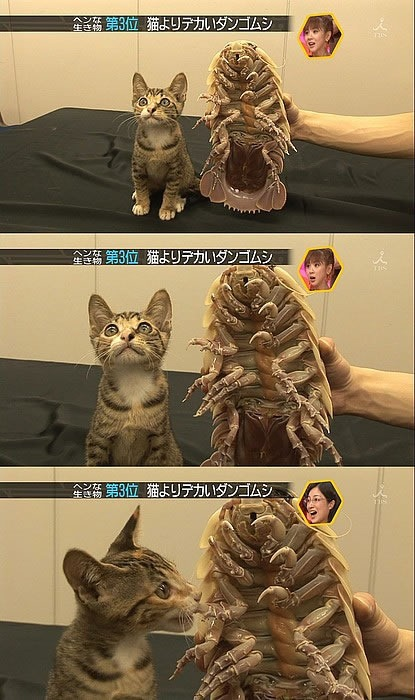 Scenes from a Japanese TV talk show featuring a kitten beside an isopod.