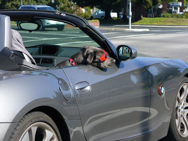 Grey dog in a BMW convertible, wearing goggles and resting his head over the side of the car.