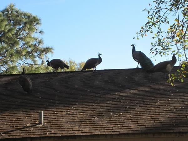 peacocks 04