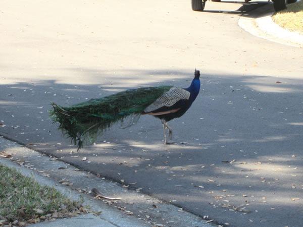 peacocks 07