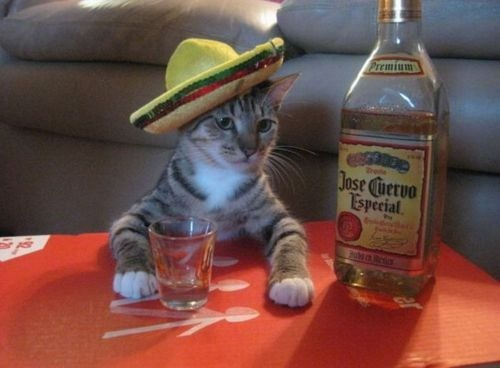Cat wearing a little sombrero, bellied up to a makeshift bar with a shot glass and a bottle of Jose Cuervo tequila.