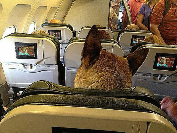 View of airplane cabin with back of German shepherd's head in the seat ahead