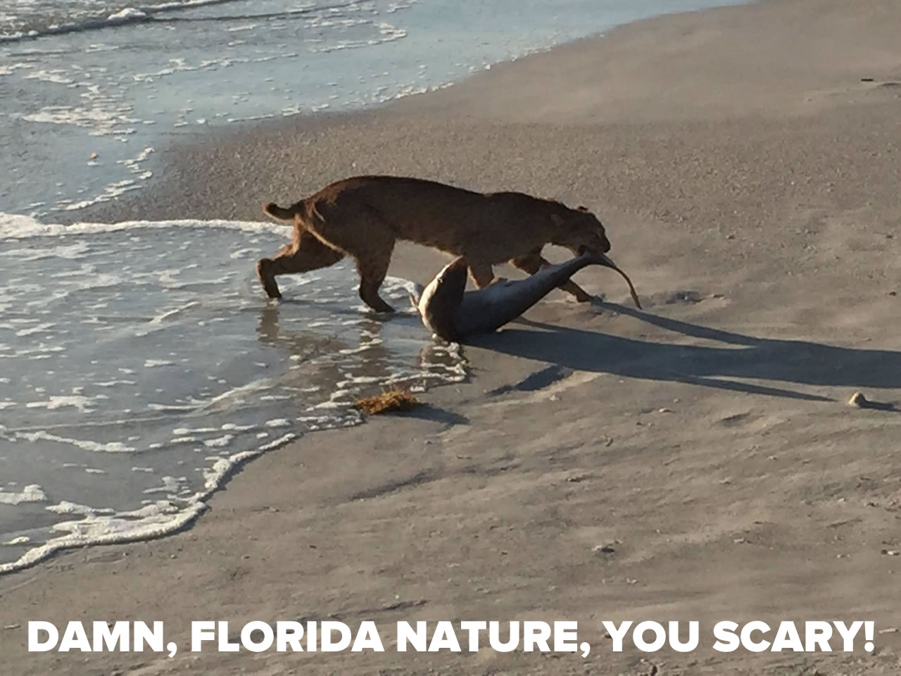Headline: Damn, Florida nature, you scary! / Photo: Bobcat dragging a shark along a beach