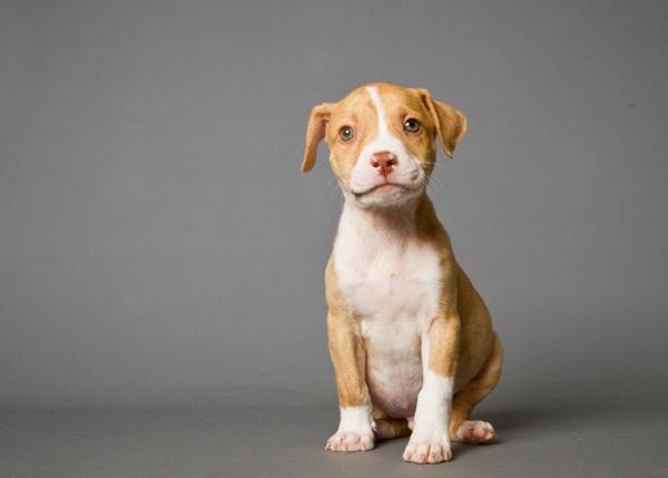 pit-bull-terrier
