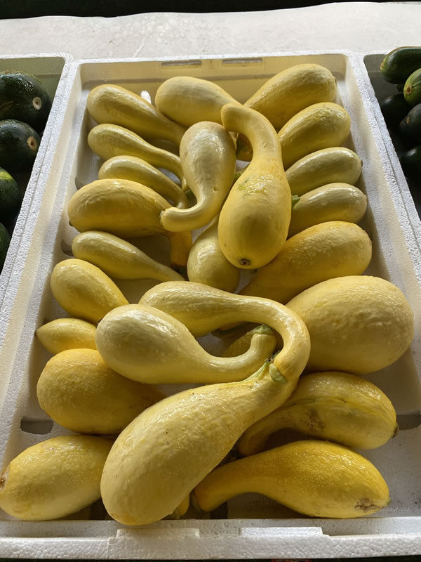 Photo: Yellow squash at Bearss Groves