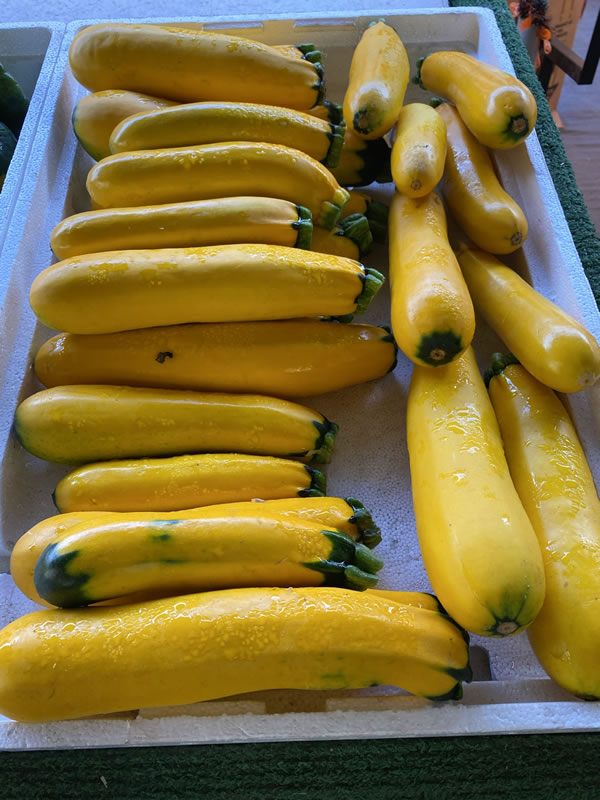 Photo: Yellow zucchini at Bearss Groves